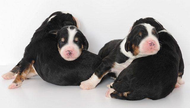 Puppies Swissridge Kennels