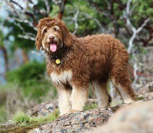 kaya-golden-mountain-doodle-lynn-shaw