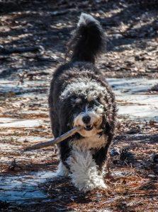 trek-laurie-young-australian-bernedoodle-2-copy